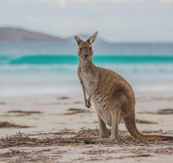 kangaroo-esperence-western-australia